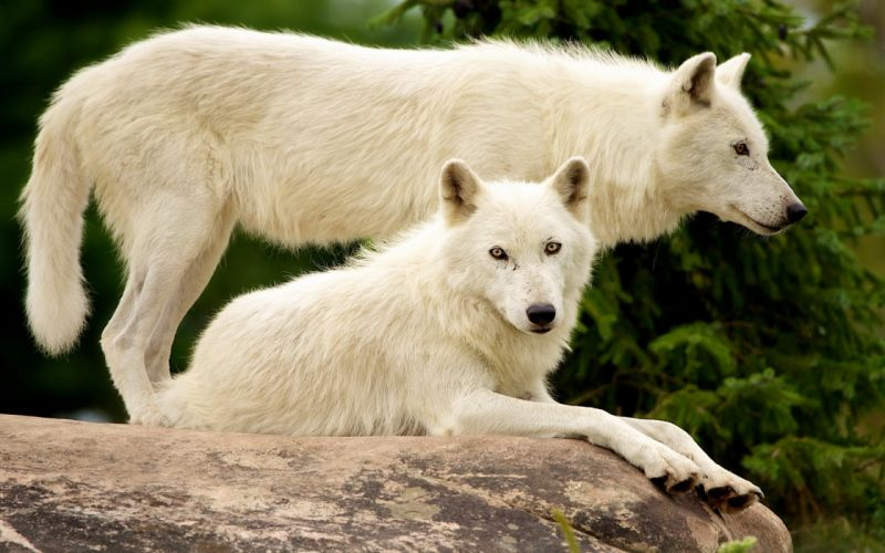 wolf wolves predator carnivore e wallpaper