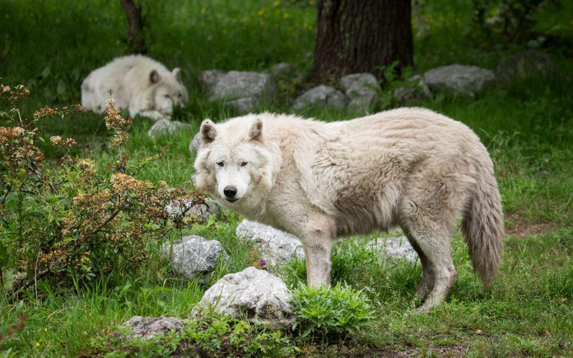 wolf wolves predator carnivore rd wallpaper
