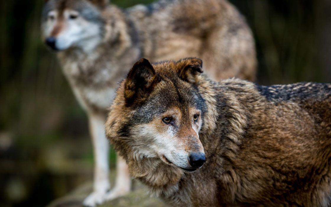 wolf wolves predator carnivore fs wallpaper