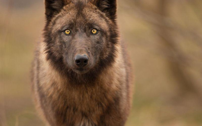 wolf wolves predator carnivore w wallpaper
