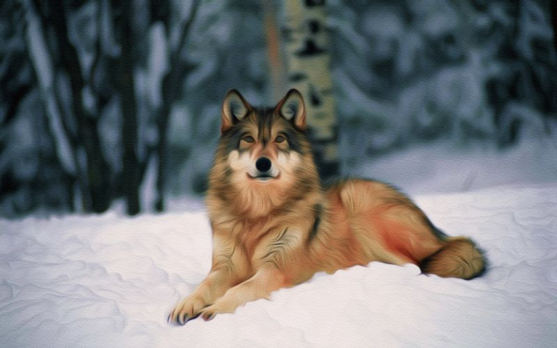 wolf wolves predator carnivore artwork f wallpaper