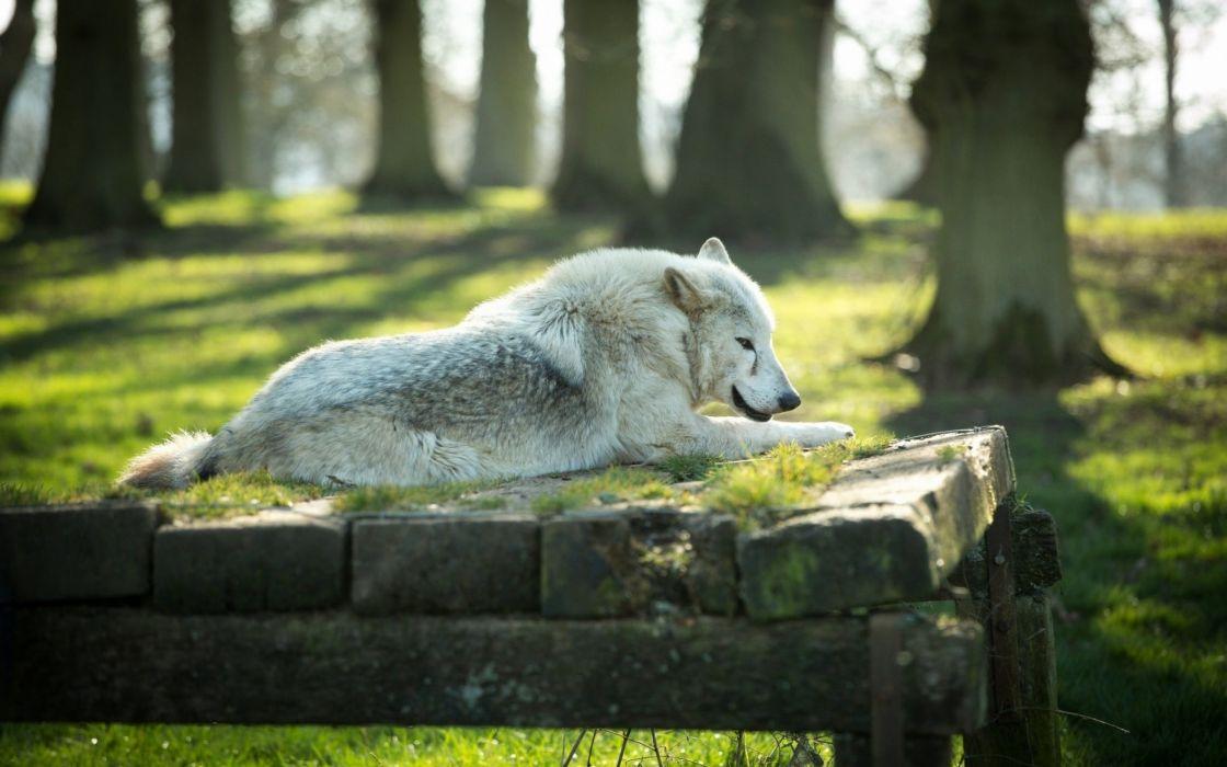 wolf wolves predator carnivore forest d wallpaper