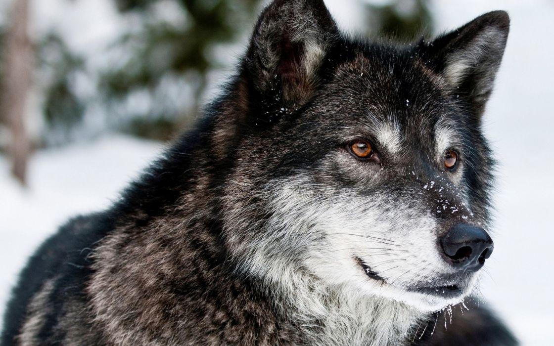 wolf wolves predator carnivore winter snow fd wallpaper