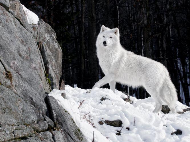 wolf wolves predator carnivore winter snow f wallpaper