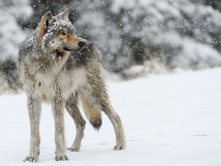wolf wolves predator carnivore winter snow x wallpaper