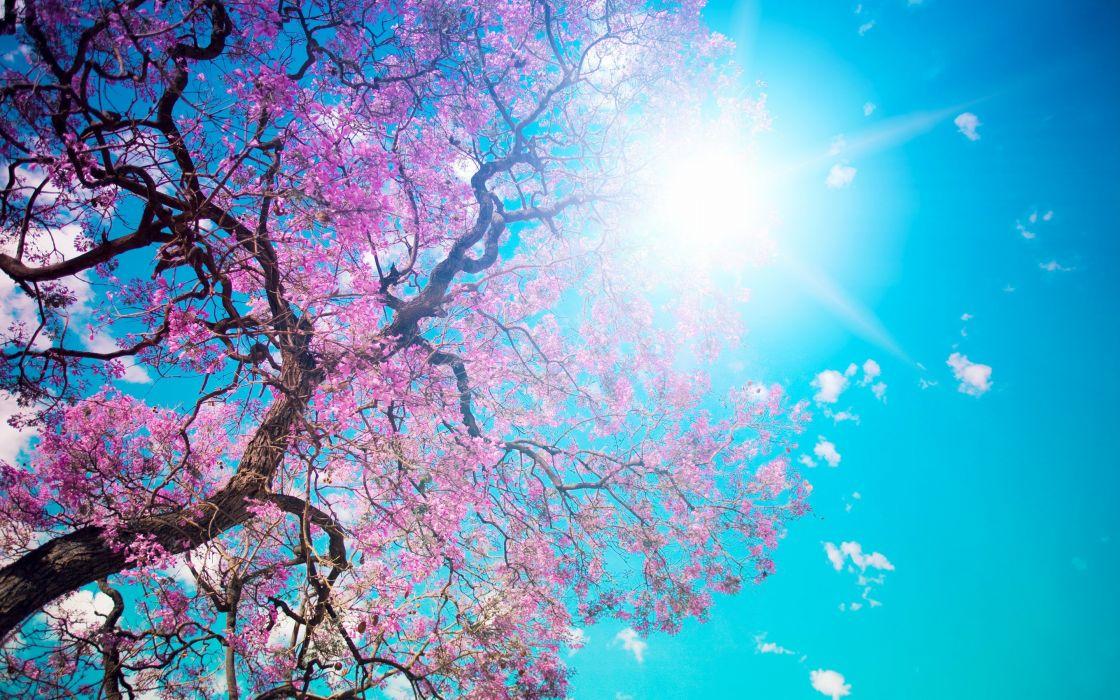 nature bloom beauty pink tree beautiful tree blossom sun petals blue sky dazzling wallpaper