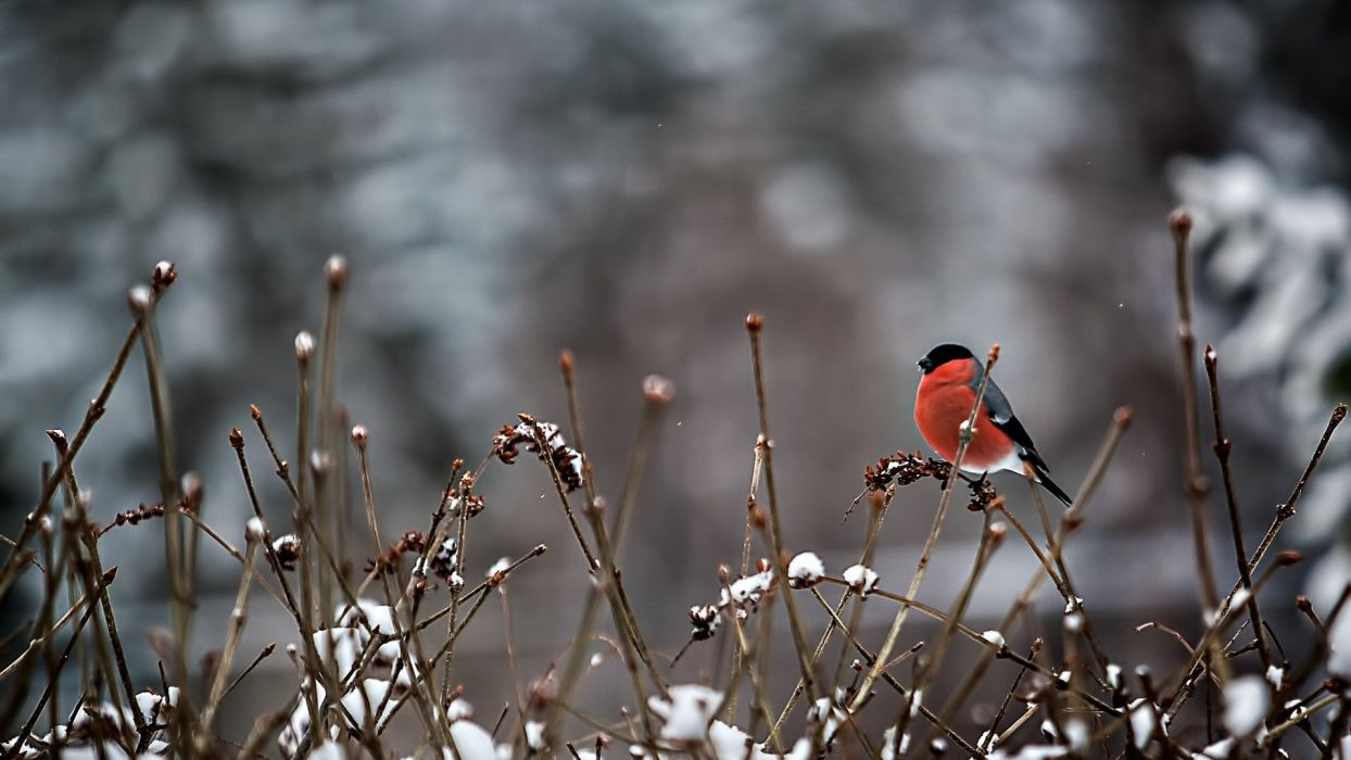 snow branches bird red animal winter snow nature wallpaper