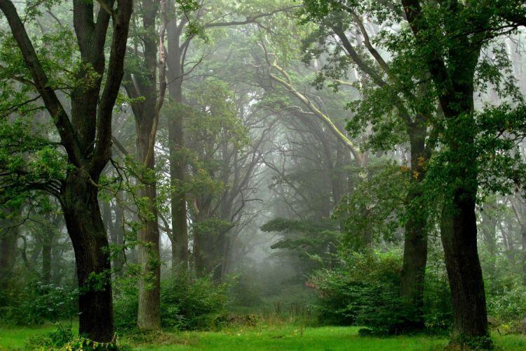 landscape nature tree forest woods fog wallpaper