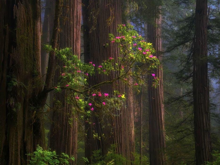 Redwood Forest California USA wallpaper