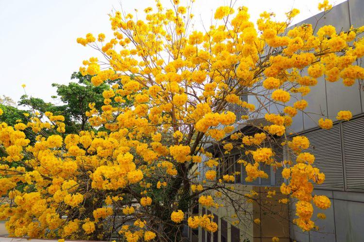 tree flower photo beautiful yellow natute wallpaper