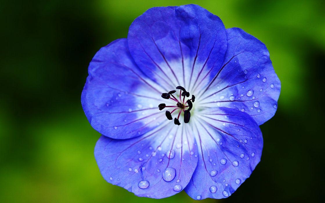 geran flowers blue garden spring nature landscapes beauty wallpaper