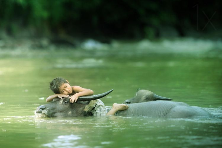 water buffalo sleepy boy wallpaper