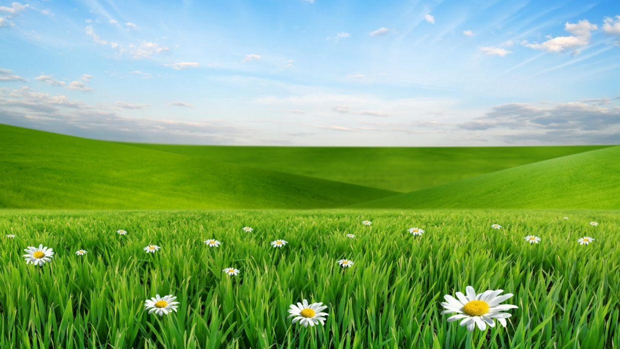 field of daises wallpaper