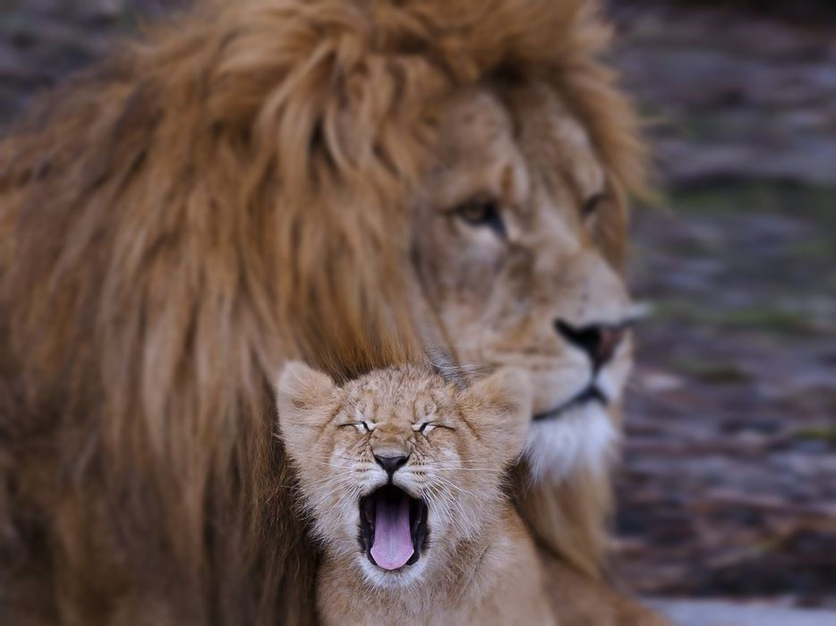 Lion cub animals family kids dad father son Predators wilds africa wallpaper