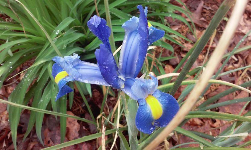 Siberion Iris~ wallpaper