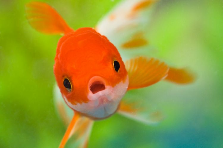 underwater fish fishes goldfish gold fish wallpaper