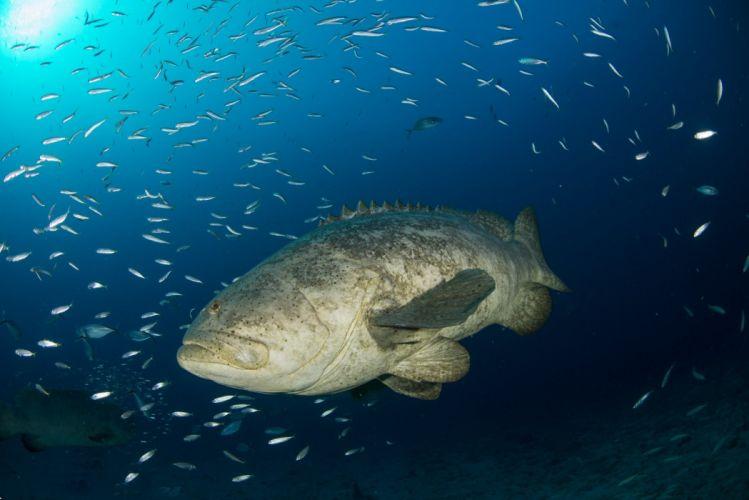 underwater fish fishes tropical ocean sea grouper wallpaper