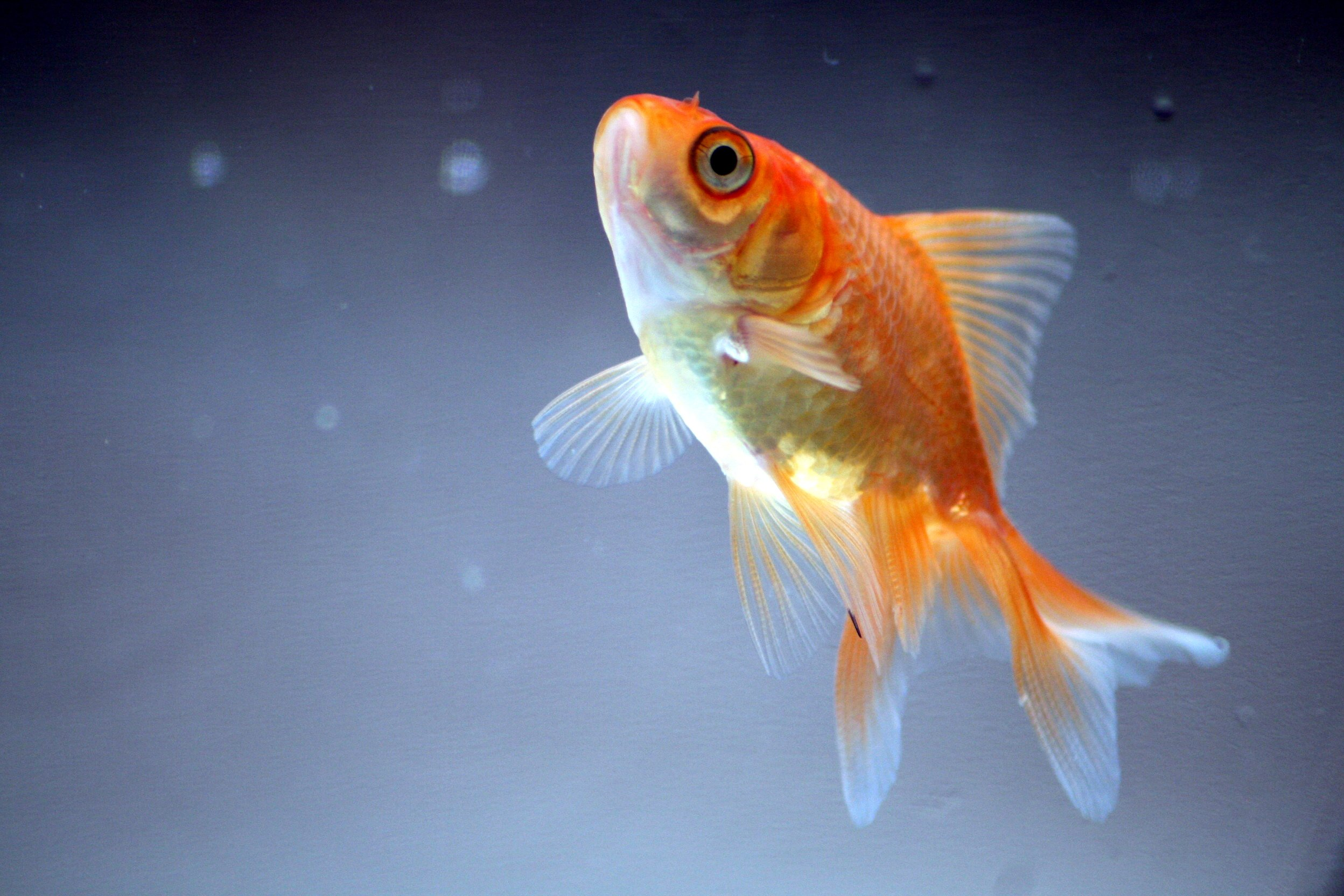 Underwater fish fishes goldfish gold fish wallpaper ...