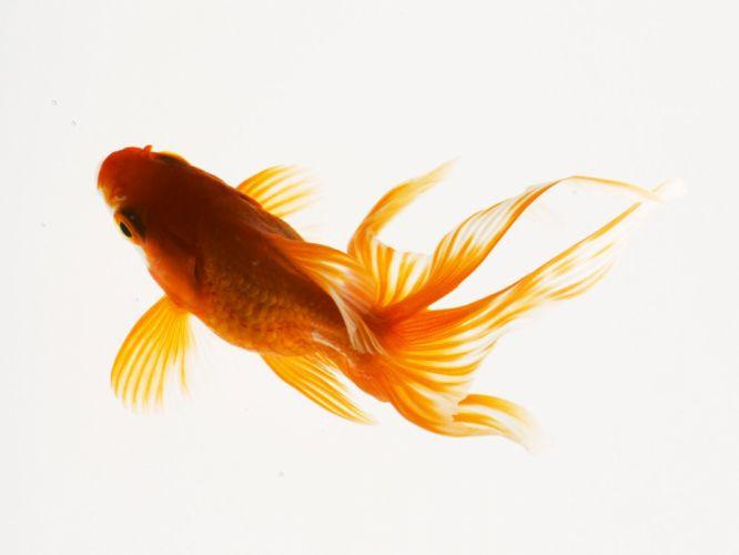 underwater fish fishes goldfish gold wallpaper