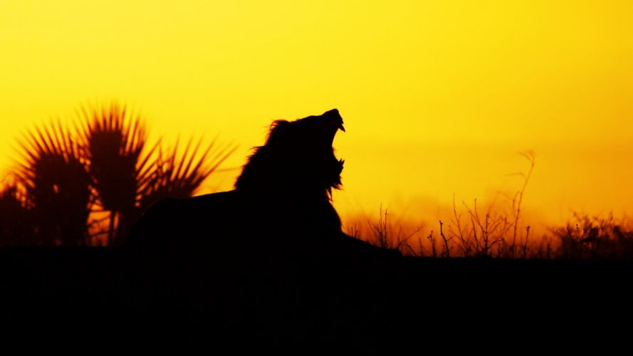 lion wild yellow orange nature sunset animals landscapes africa earth Predators Roar cray wallpaper