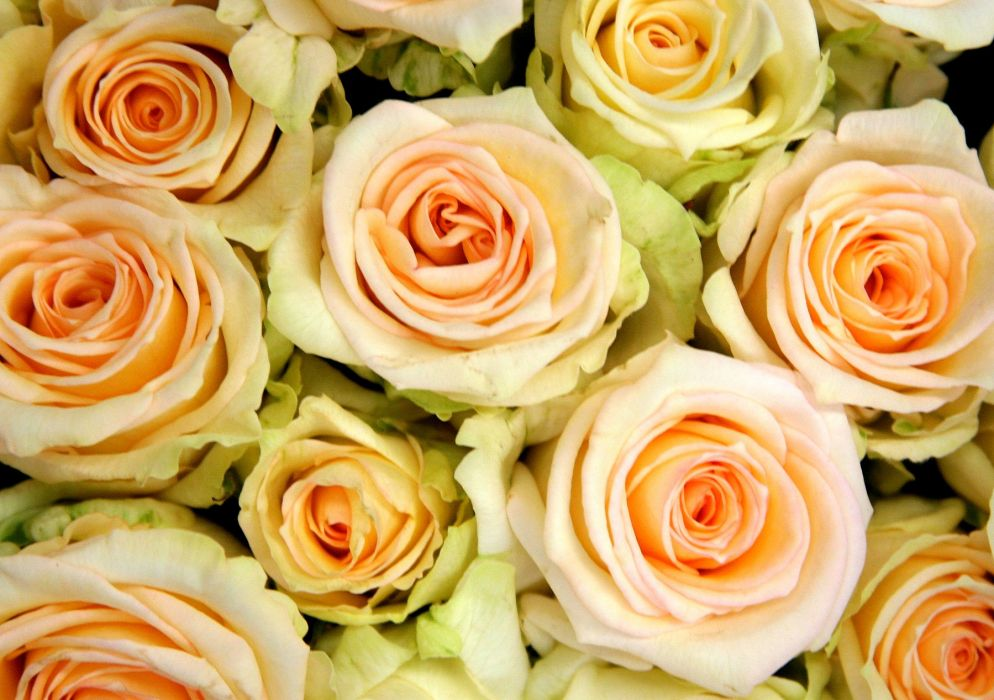 flower roses nature wallpaper