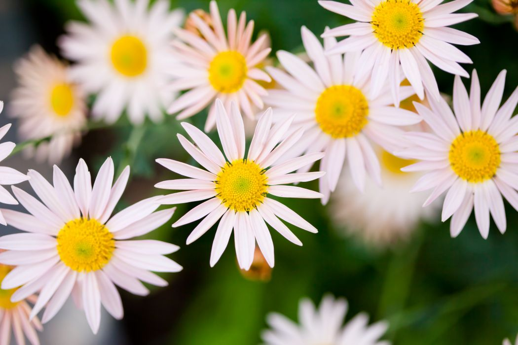 daisy white flower nature wallpaper