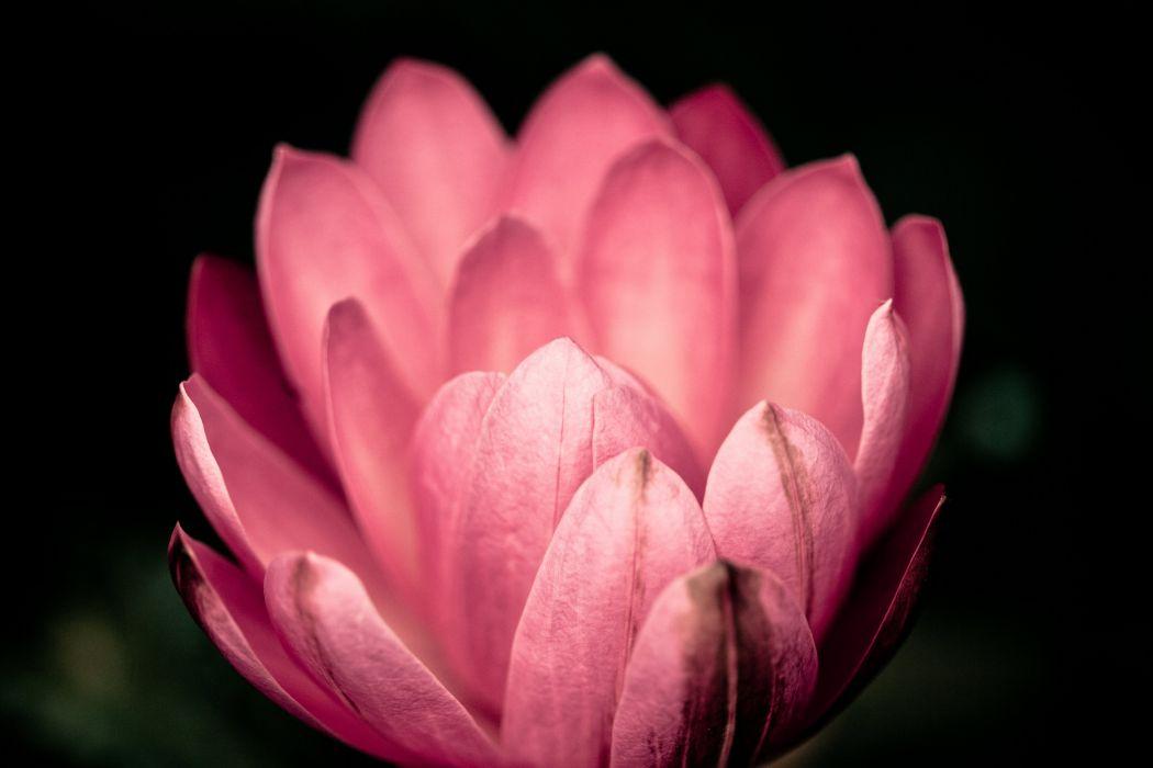 lotus flower water pink wallpaper