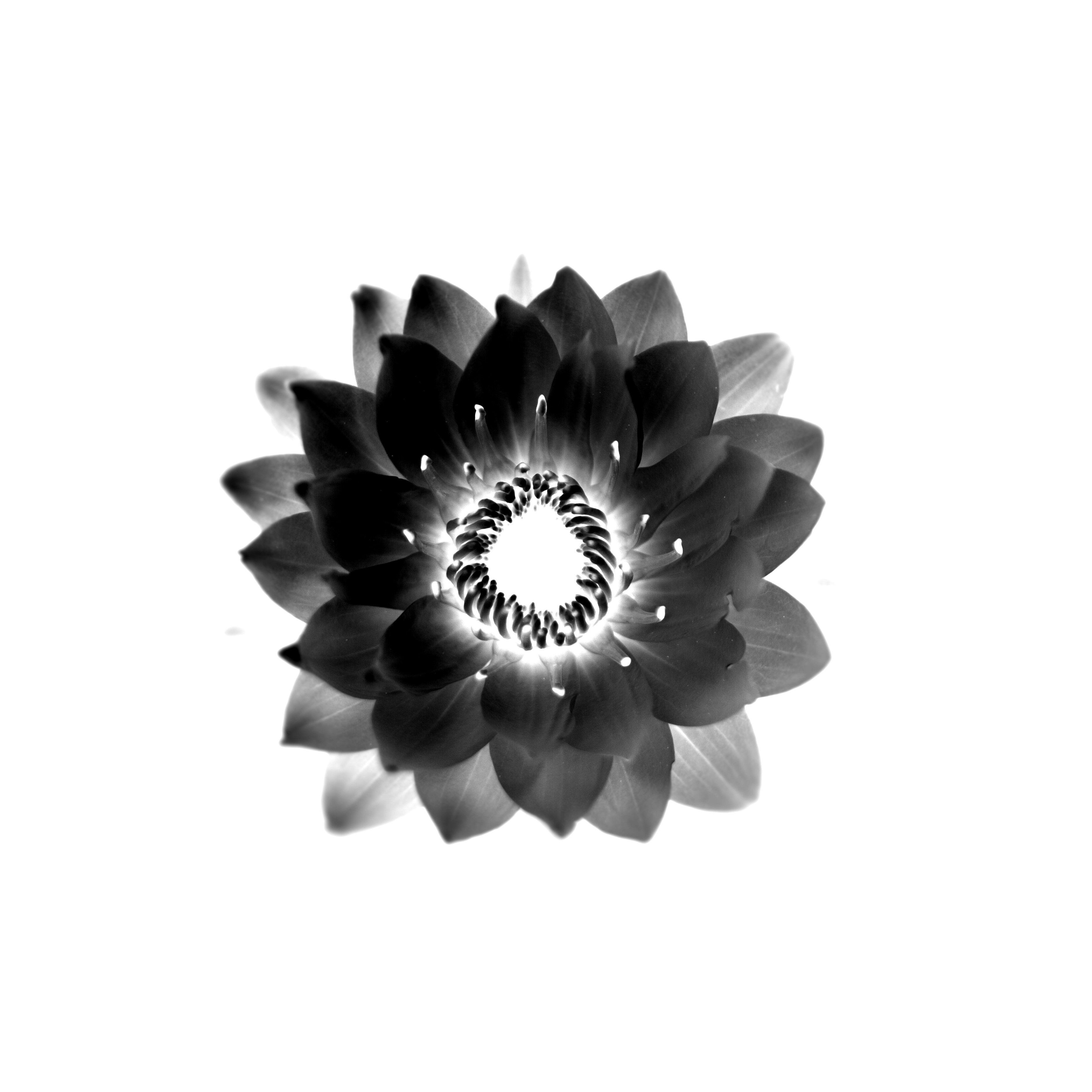Vector flower black white background wallpaper 3744x3744