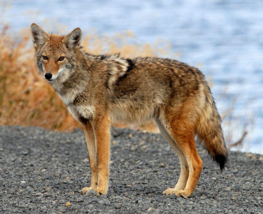 coyote rapaz animales carnivoro wallpaper