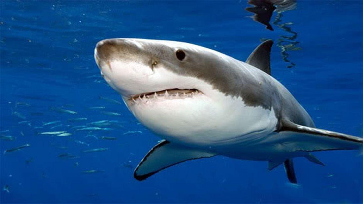 Great White Shark Wallpaper 1920x1080 669388 Wallpaperup