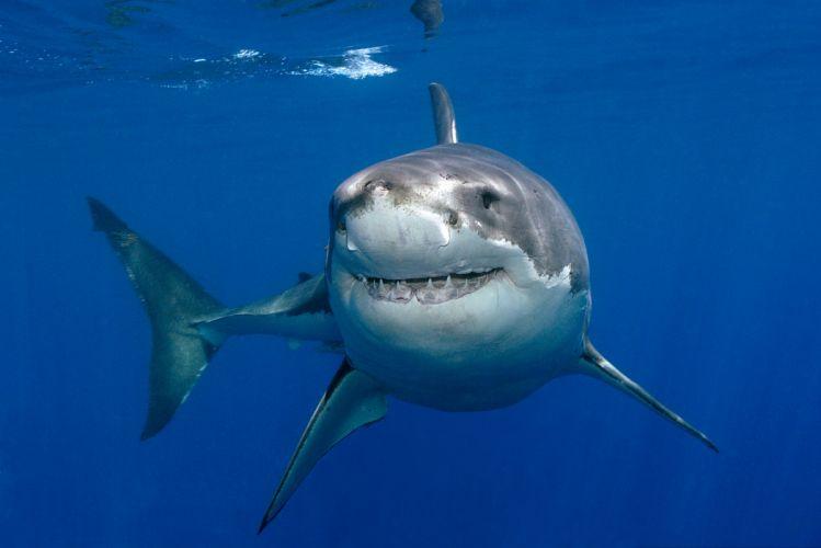 GREAT WHITE SHARK wallpaper