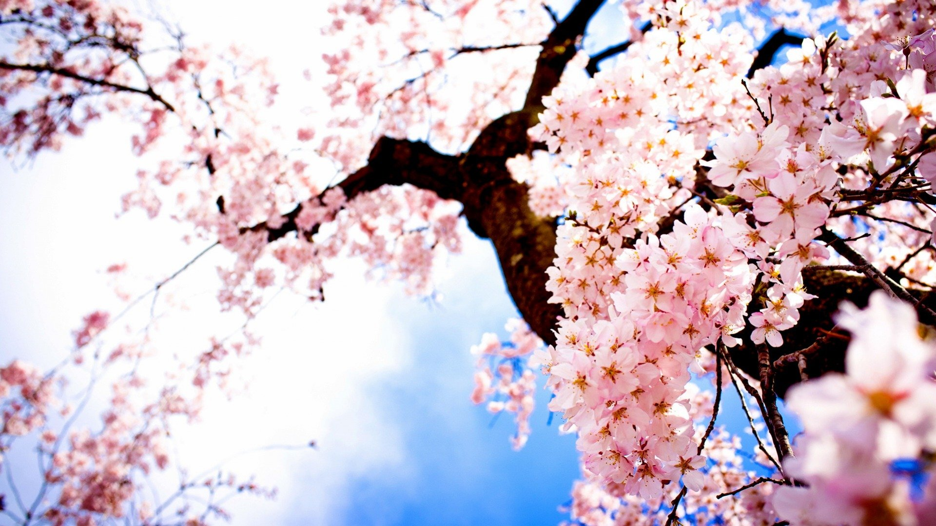 tree sakura flower nature beautiful wallpaper 1920x1080
