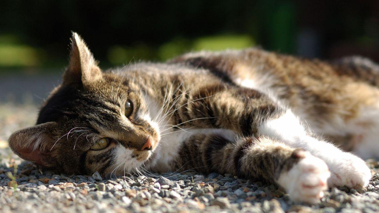 Lazy cat in the sun Animals Cat wallpaper