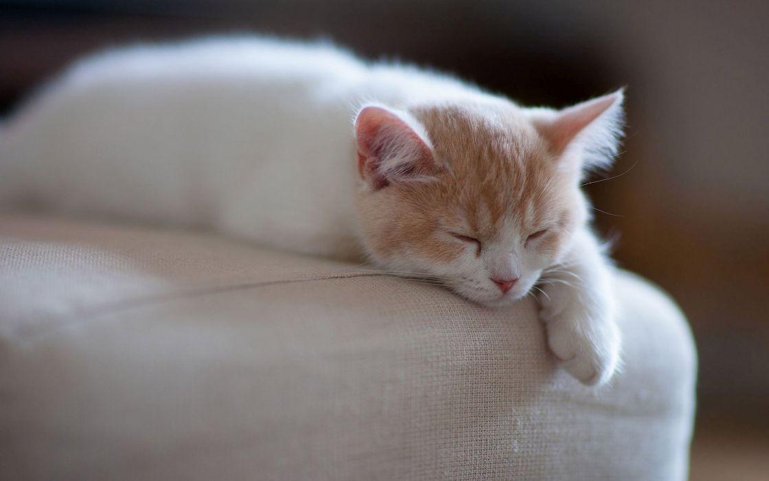 Sleeping kitten Animals Cat Kitten wallpaper