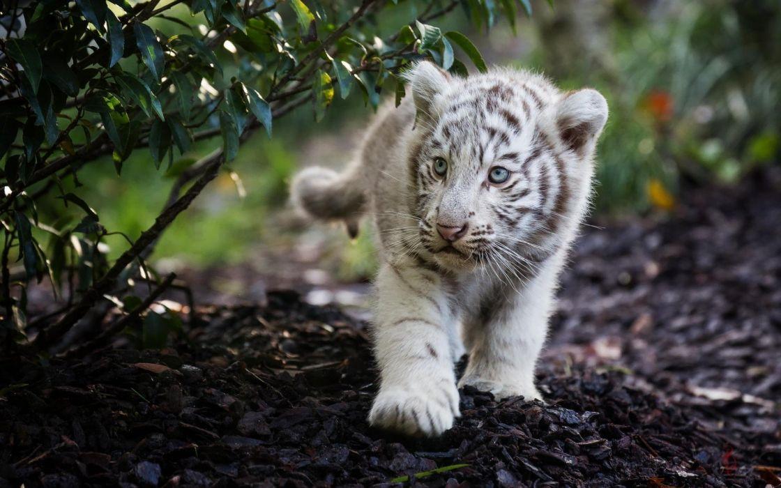 Animals Cub Tiger wallpaper