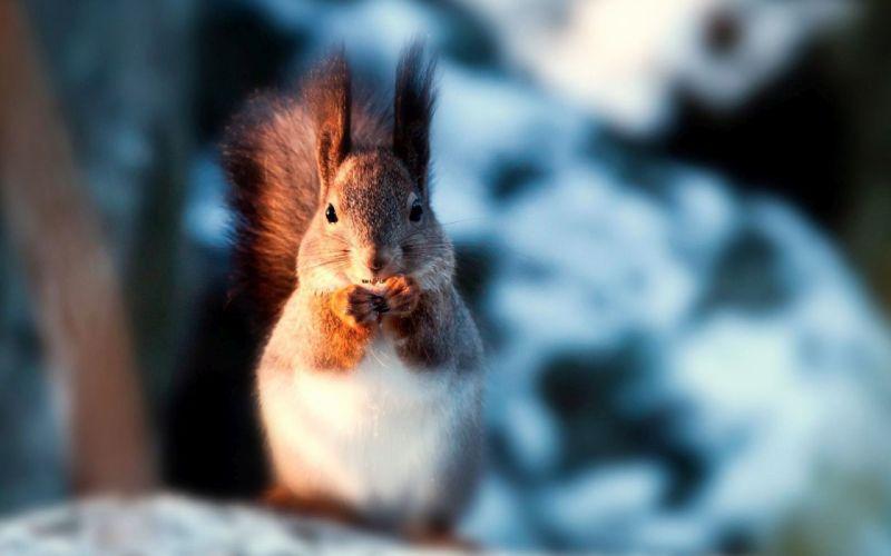 Animals Squirrel wallpaper
