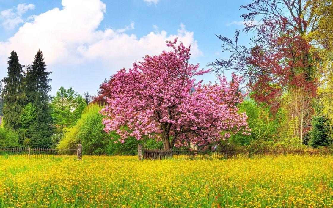 cherry-tree-in-blossom- wallpaper