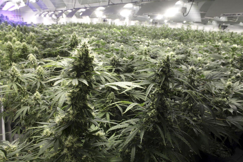Марихуана видео смотреть онлайн бесплатно нехватка азота у марихуаны