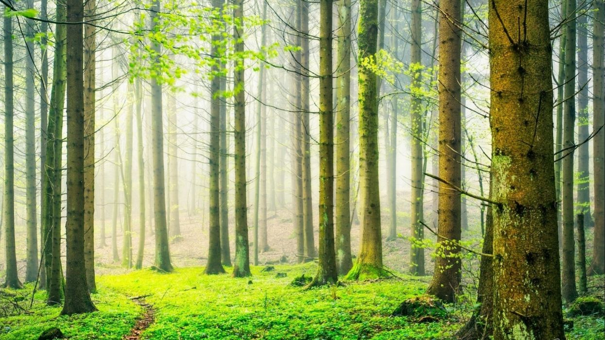 forest tree landscape nature wallpaper