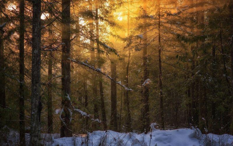 forest tree landscape nature winter wallpaper