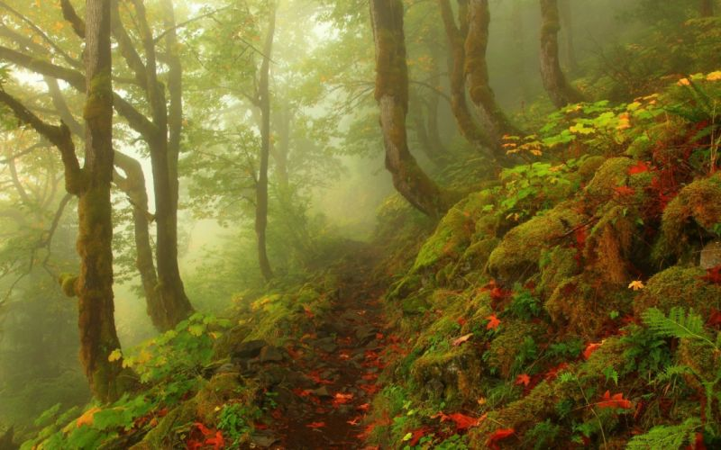 forest tree landscape nature fog path wallpaper
