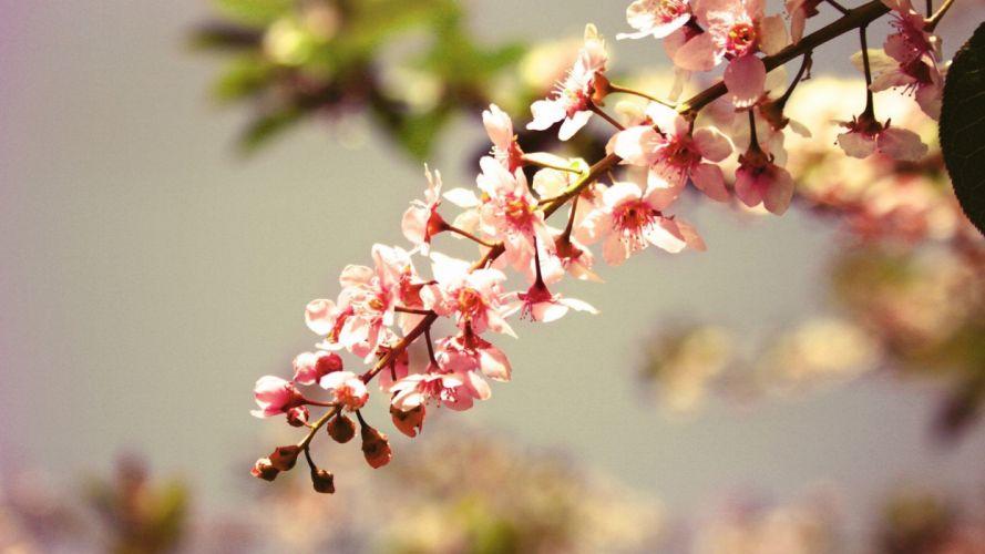 macro-pink-blossom-flower-nature- wallpaper