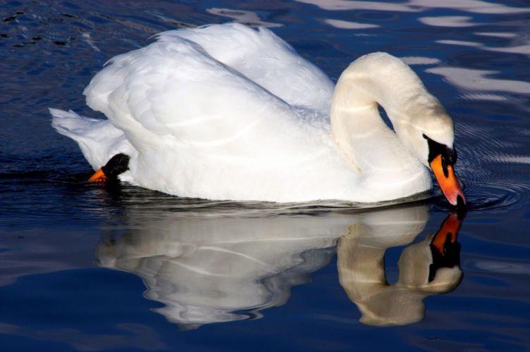 -swan-bialy-ptaki-animal wallpaper