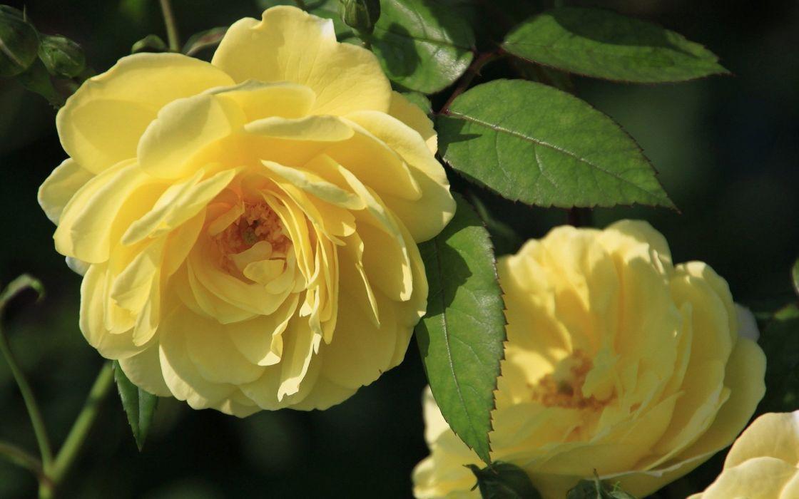 yellow-roses- Flowers Rose wallpaper