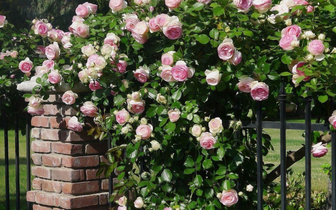 rose-bush- Artistic Rose wallpaper
