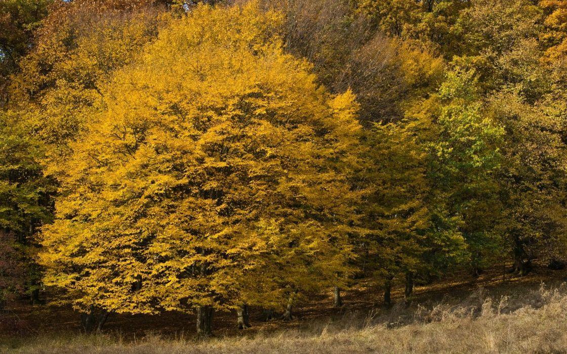 yellow-trees Nature Tree Autumn Fall wallpaper
