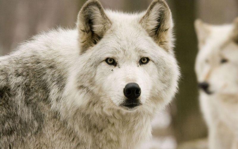 wolve ears friends fur animal wallpaper