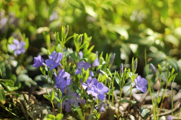 periwinkle vinca flowers spring sunlight D wallpaper