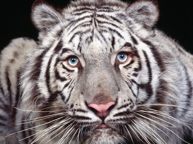 cara tigre blanco wallpaper