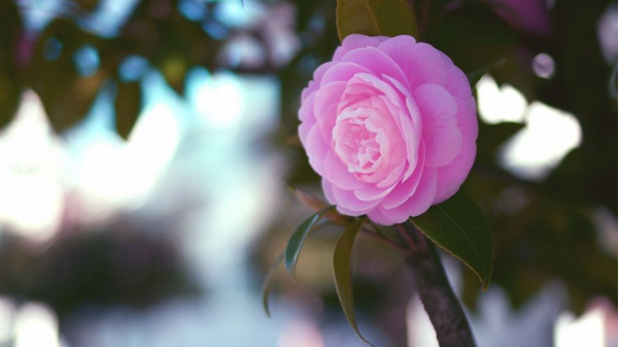 rose flowers flower roses bokeh landscape nature garden wallpaper